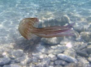 Jellyfish swimming off the coast