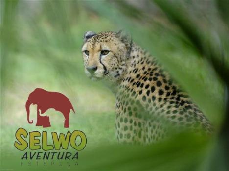 Cheetah at Selwo Aventura