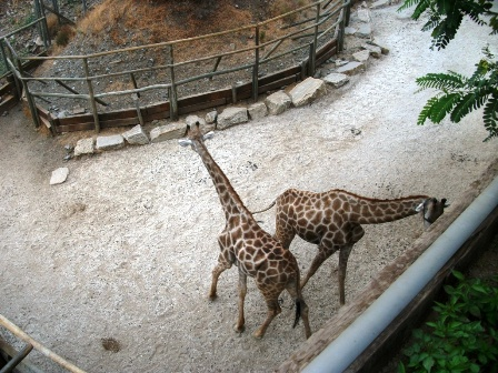 Giraffes at Selwo Aventura in Estepona