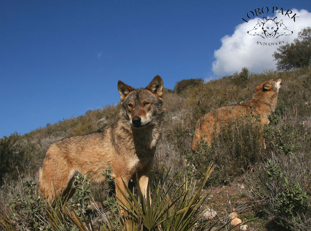 Photo of wolves at Lobo Park near Antequera