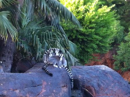 Lemurs in Bioparc Fuengirola