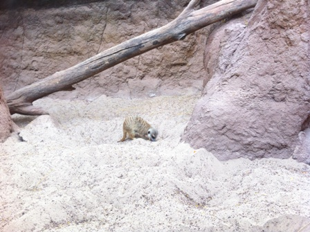 Meerkat digging a hole at Bioparc Fuengirola