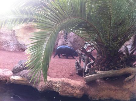 Pygmy Hippo at Bioparc Fuengirola