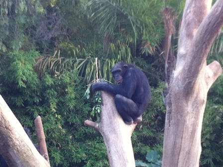 Chimpanzee sitting on the top of a tree