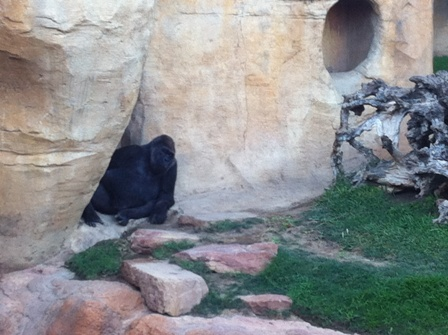 Gorilla at Bioparc hiding in the rocks