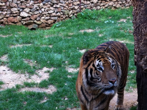 Tiger at Zoo de Castellar