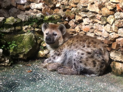 Hyena at Zoo de Castellar