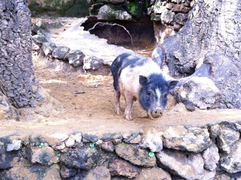 Vietnamese Pig at Zoo de Castellar